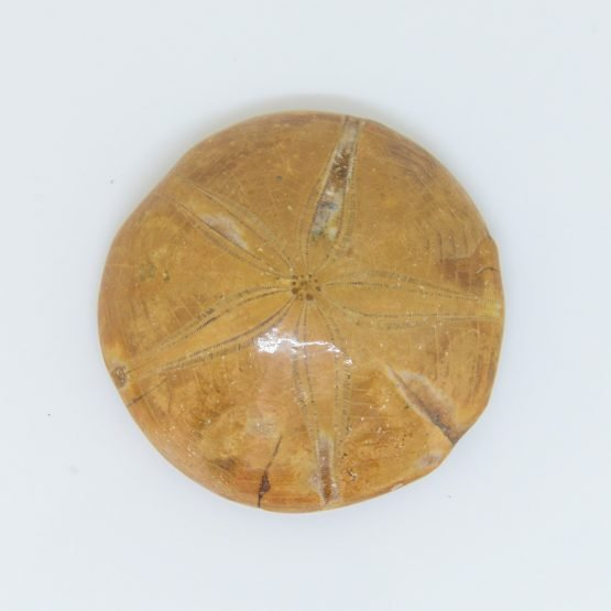 Micucci Interiors - Set of Three PygurusSea Urchin Fossils