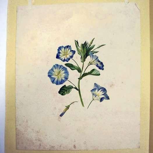 Hollandse School-Blauwe Bloemen-botanical artist watercolour drawing
