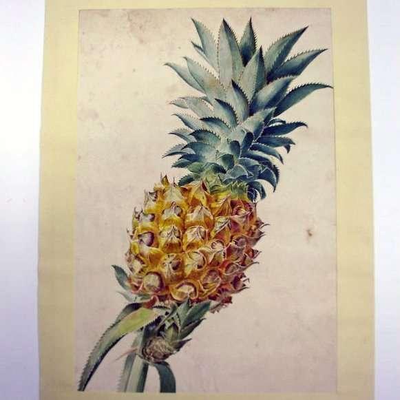 Hollandse School-Een Ananas-Collectibles botanical artist watercolour