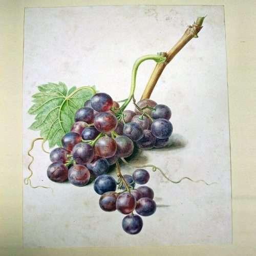 Micucci Interiors - Hollandse School – Een Tros Blauwe Druiven