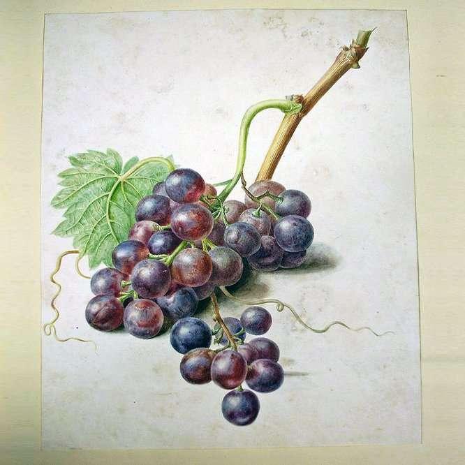 Hollandse School-Een Tros Blauwe Druiven-Collectibles watercolour drawing