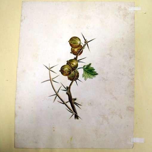 Hollandse School-Kruisbessen-Collectibles watercolour botanical